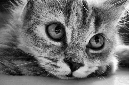 animals, black and white, cat, cute - inspiring picture
