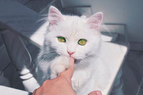 beautiful, cat, cats, cute, white - inspiring picture