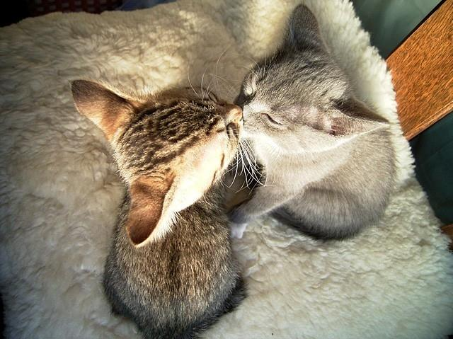 cat, cute, kiss, kitty, love - inspiring picture