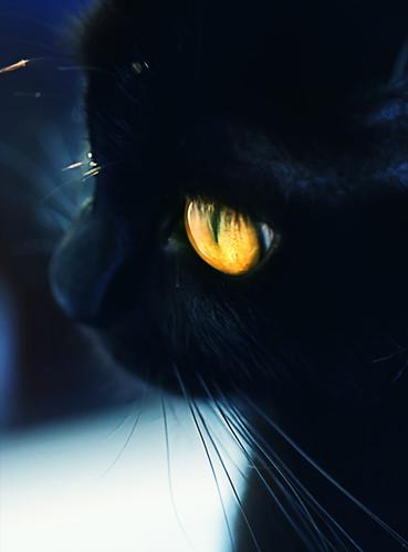 animais, animal, animales, beautiful, black cat, cat - inspiring picture