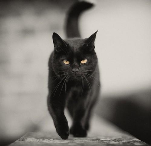 animals, black, cat, chat, noir, photos - inspiring picture