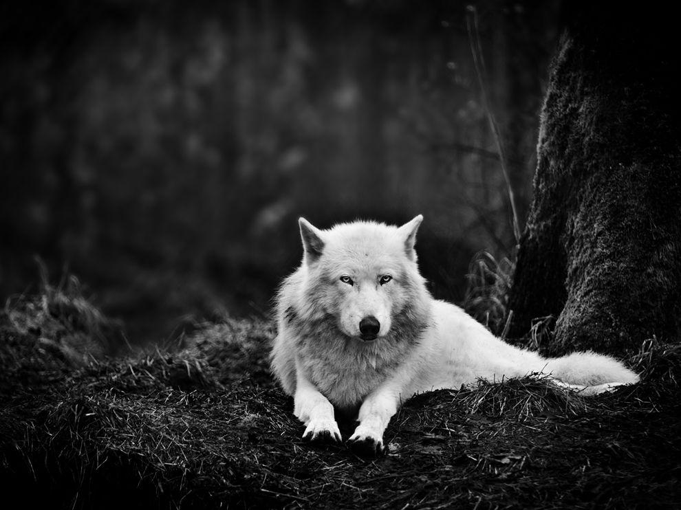 Gray Wolf Picture – Animal Wallpaper - National Geographic Photo of the Day