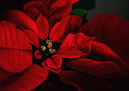 POINSETTIA. | The Joys Of Christmas