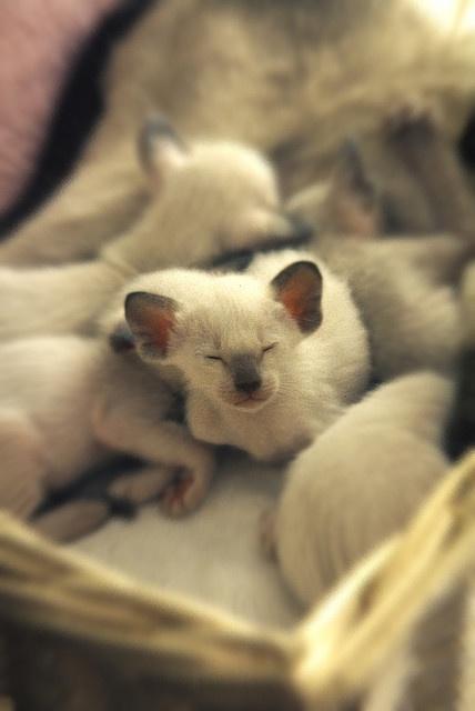 Siamese kittens | Cats