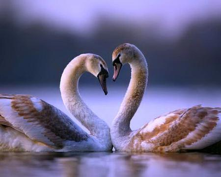 ~ ?? Swans Love ?? ~ - Birds Wallpaper 966100 - Desktop Nexus Animals
