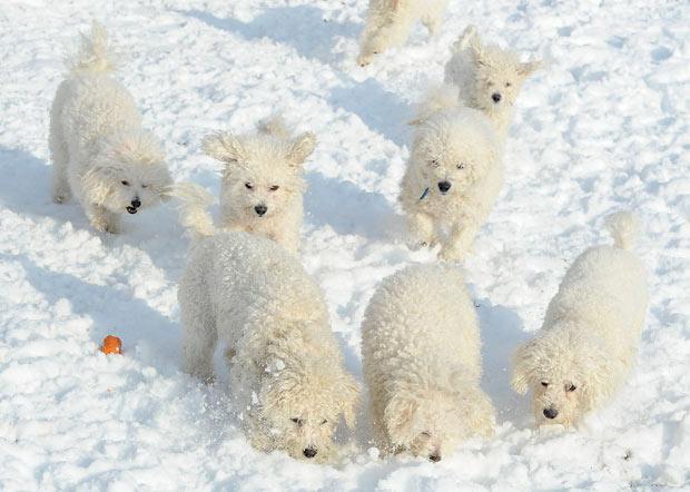 dogs-snow_2135038i.jpg (620×442)