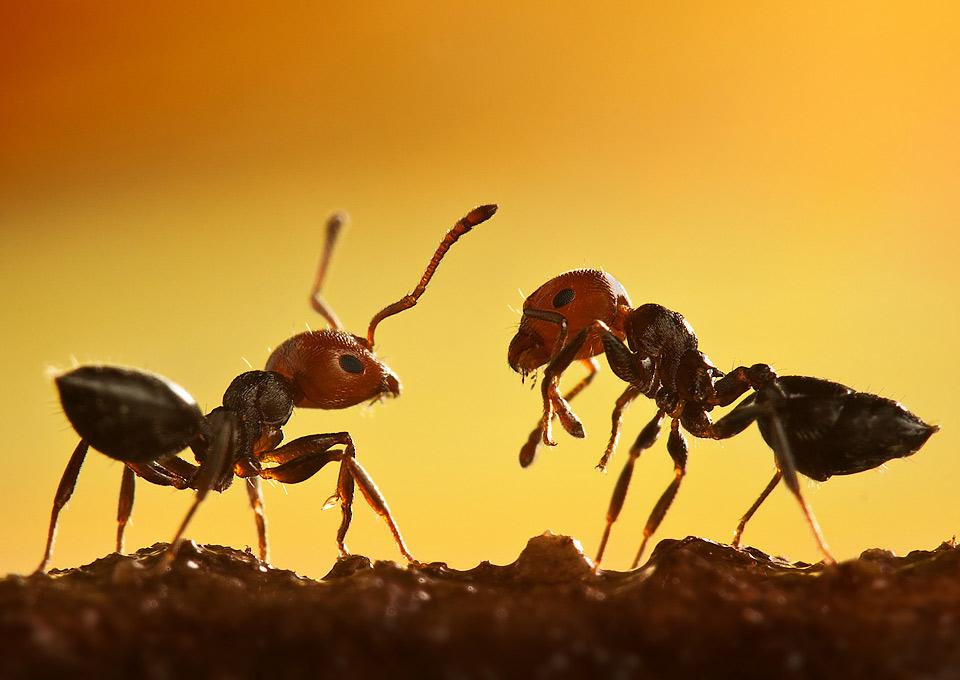 macro-shot-of-two-ants.jpg (960×680)