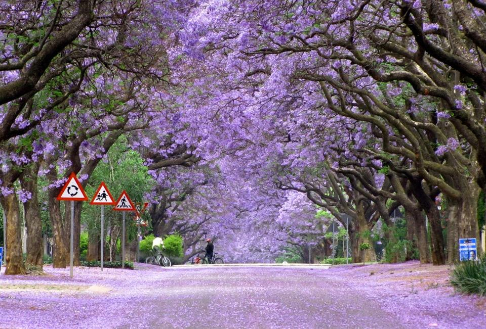 jacaranda-trees-in-bloom-south-africa.jpg (960×651)