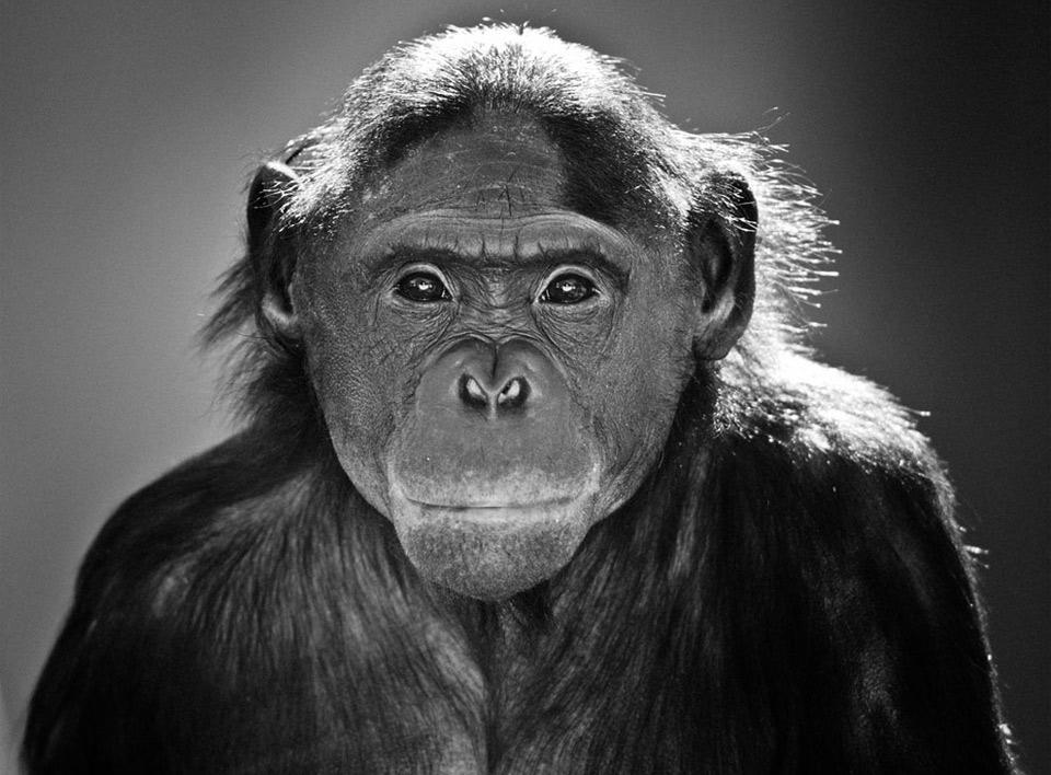 bonobo-portrait.jpg (960×708)
