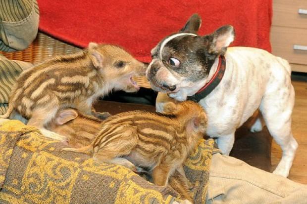 Foto Germania, bulldog adotta e salva 6 cinghiali - 1 di 5 - Repubblica.it
