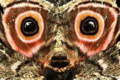 001-Ali posteriori di falena saturnide, Sud Africa - Cibachrome.jpg (400×267)