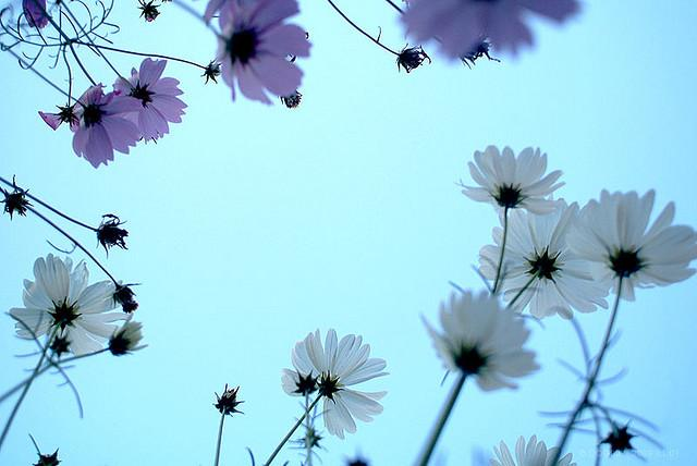 Cosmos | Flickr - Photo Sharing!