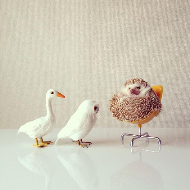 Najs?odszy je?yk internetu | Darcy the flying hedgehog! - CzytajNiePytaj - Magazyn Online. Sztuka, Moda, Design, Kultura
