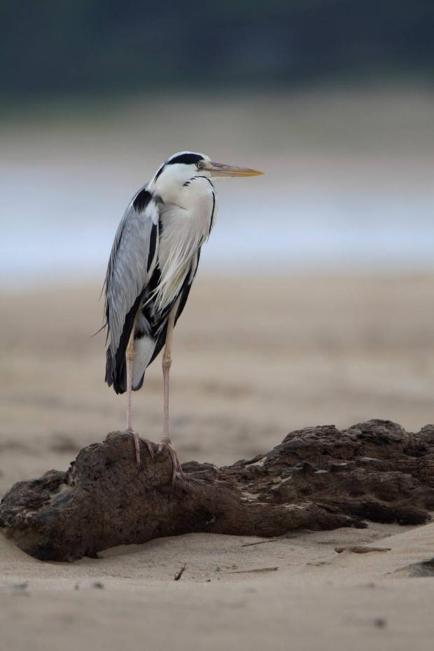 Grey Heron - Bruce Colin | Design.org