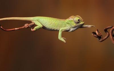 Chameleon wallpaper - Animal wallpapers - #7283