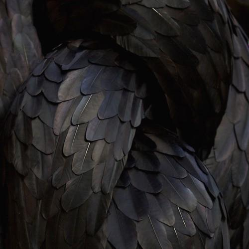 Piccsy :: Feathers Black