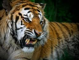 tigers attacking - Google Search