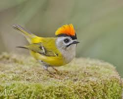 firecrest birds - Google Search