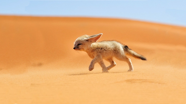 sand animals deserts national geographic running fennec fox foxes ear Wallpaper