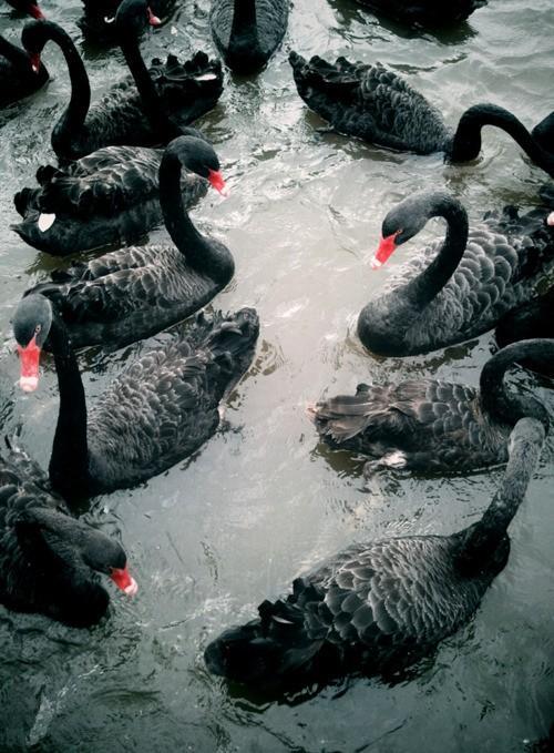 Piccsy :: Black Swans