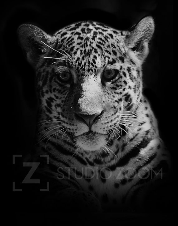 Black And White Jaguar Photography | www.pixshark.com ...