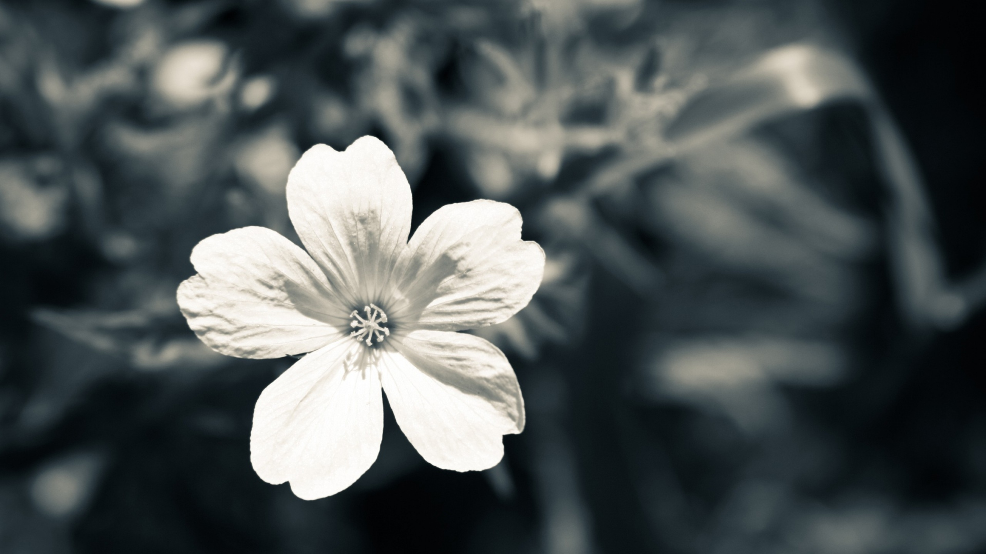 Black And White Flower - Photography Wallpapers #468469 on ...