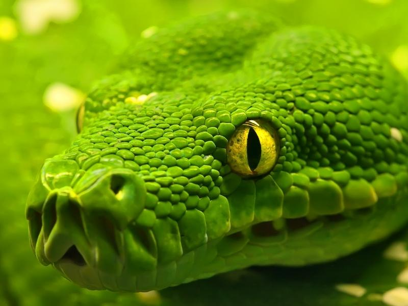 Magicwallpapers.net | Green Snake 800x600