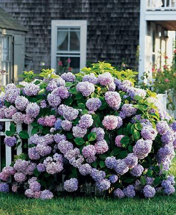 Search results for hydrangea