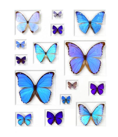 24×30 Cerulean Butterflies   Pheromone Wholesale