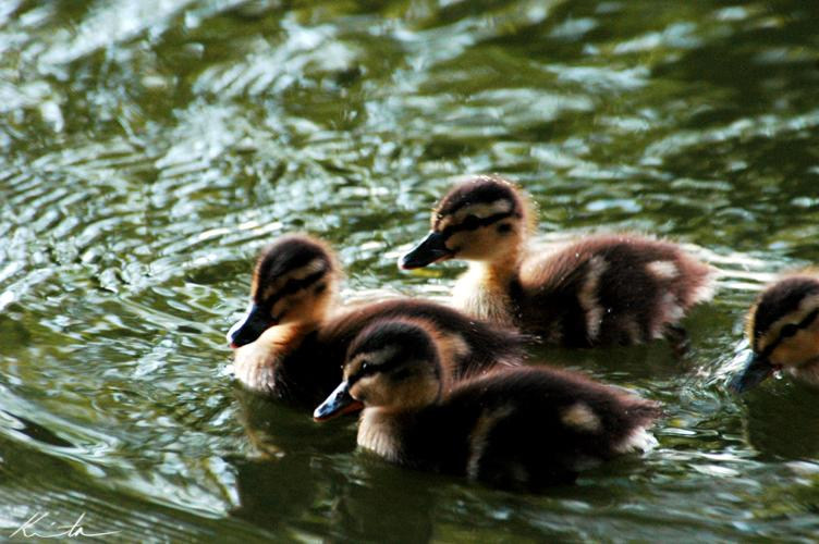 Ducklings by ~ph0t0k1tty