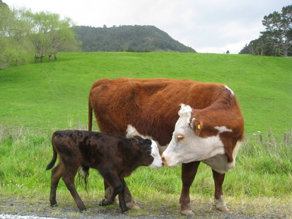 25+ Beautiful Pictures of Cows