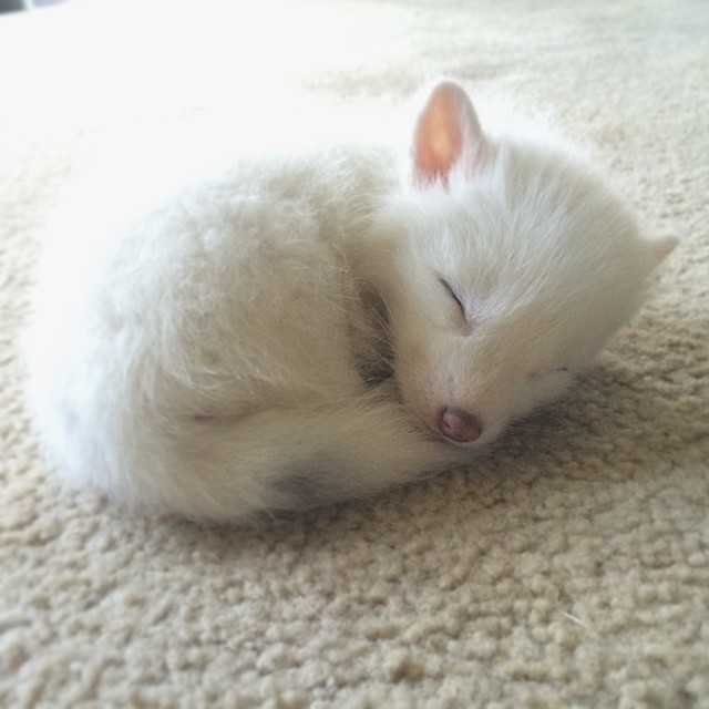 The Internet's Cutest Snow-White Fox Is Growing Up | Bored Panda