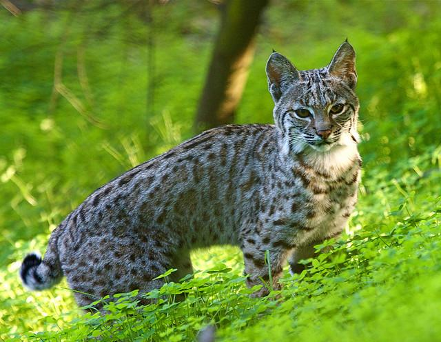 Bobcat f. | Flickr - Photo Sharing!