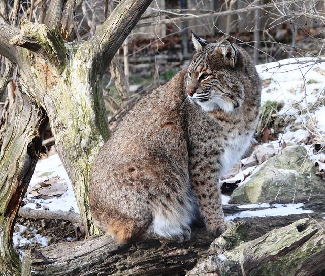 Bobcat IMG_2672 | Flickr - Photo Sharing!