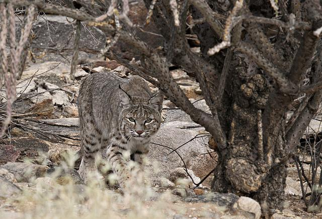 Bobcat | Flickr - Photo Sharing!