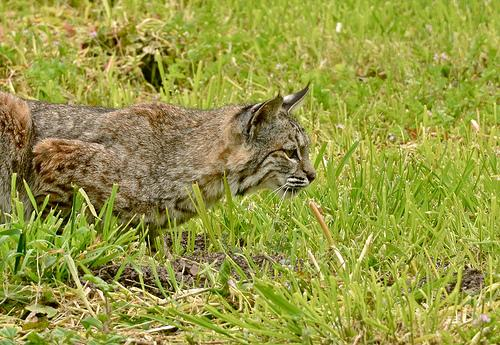 Bobcat On The Hunt - A Series | Flickr - Photo Sharing!