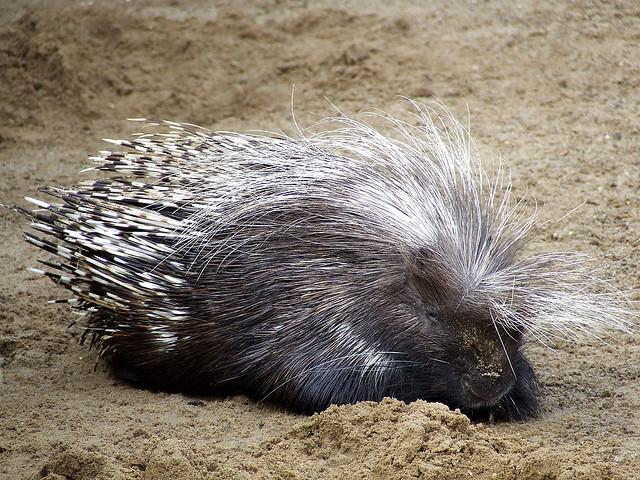 Porcupine @ Africa Alive, Suffolk | Flickr - Photo Sharing!