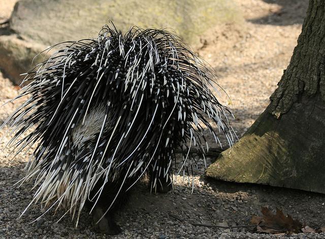 Porcupine   Flickr - Photo Sharing!