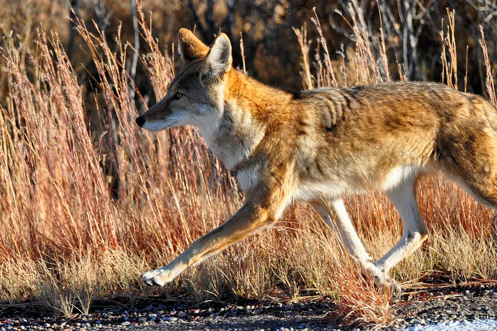 All sizes   Coyote   Flickr - Photo Sharing!