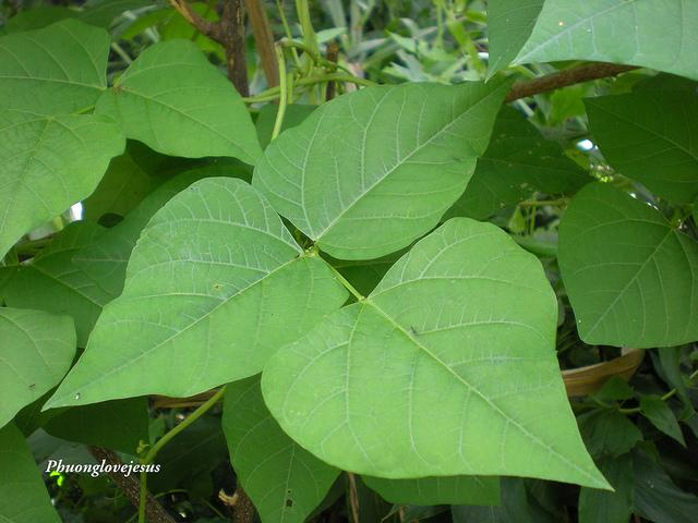 Leaves of Psophocarpus tetragonolobus, Winged bean ... Lá ??u R?ng ... | Flickr - Photo Sharing!