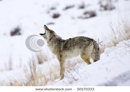 &Quot;Call Of The Coyote&Quot; - Its Mating Season For Coyotes In Yellowstone National Park And This Coyote Is Howling For A Mate. Stock Photo 50170333 : Shutterstock