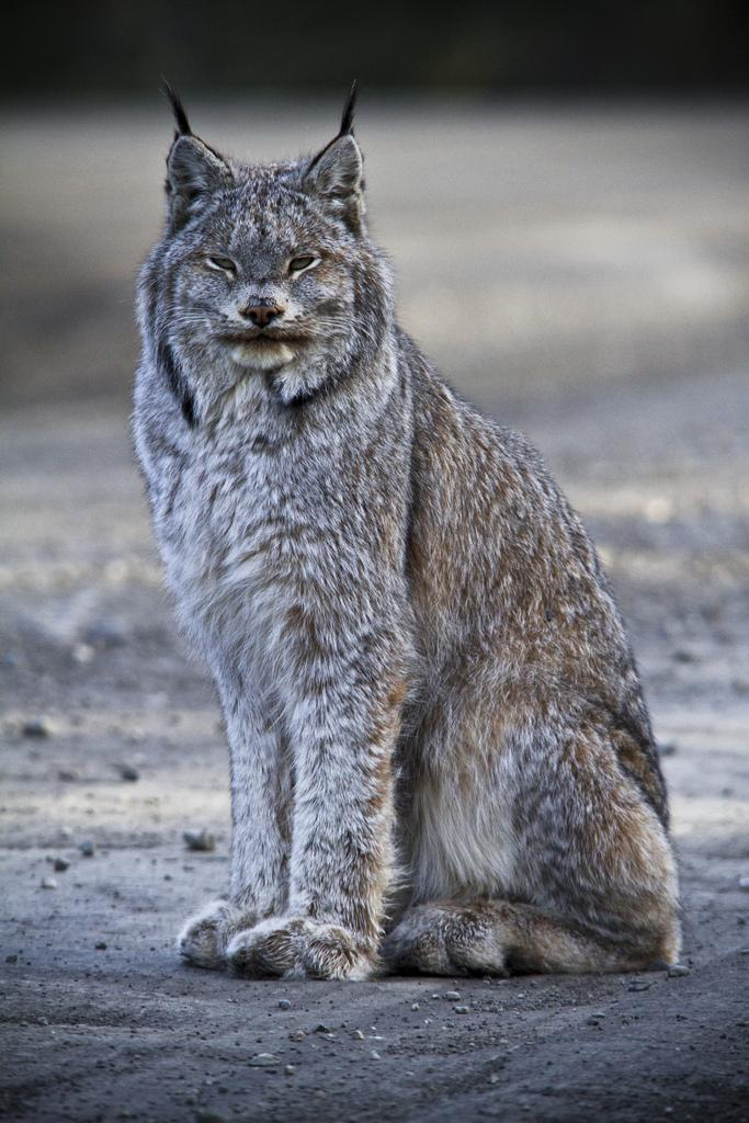 All sizes | Eurasian lynx | Flickr - Photo Sharing!