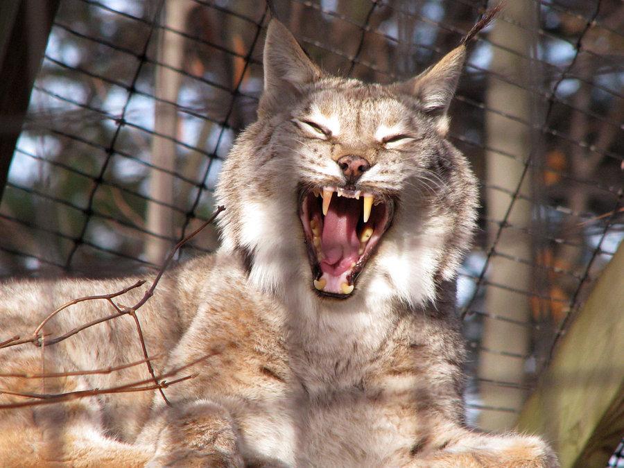 All sizes | Eurasian lynx | Flickr - Photo Sharing!