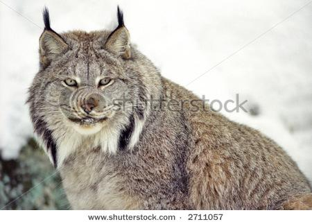 Canada Lynx In Snow (Captive Rehabilitation Sanctuary) Stock Photo 2711057 : Shutterstock