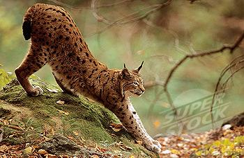 Canada Lynx (Lynx Canadensis) Stretching, Montana Stock Photo Image