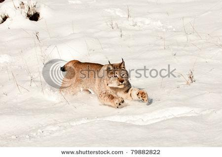 Lynx Pouncing In Fresh Snow Stock Photo 79882822 : Shutterstock
