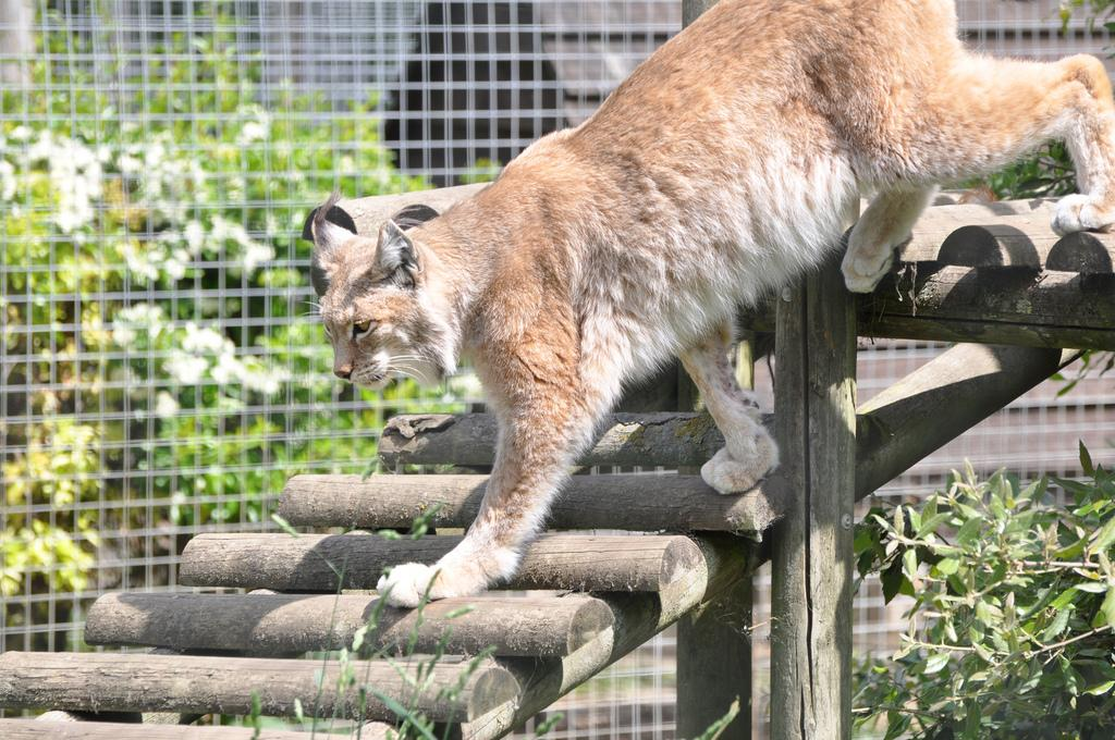 All sizes   Canadian Lynx   Flickr - Photo Sharing!