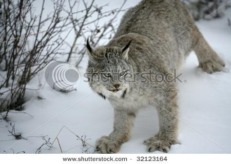 All sizes | Canadian Lynx | Flickr - Photo Sharing!