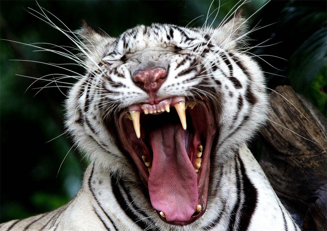 Photo of the Day: White Bengal Tiger » Design You Trust – Design and Beyond!