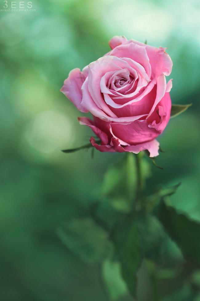 Beautiful Roses That Will Make You Fall in Love | Inspirationi